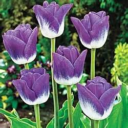 how to prevent squirrels from tulip bulbs 1000 images about purple tulips on pinterest gardens north west and longwood