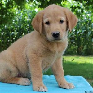 Golden Retriever Mix Puppies For Sale | Greenfield Puppies