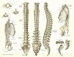 Spine Anatomy | Anatomy Charts Spine Spinal Anatomy ...