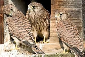 Vogelhaus Bauen Nabu : bauanleitung turmfalken nistkasten nabu ~ Buech-reservation.com Haus und Dekorationen