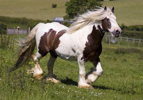 midget horse gypsy