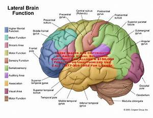 Lateral View Of Brain With Functional Areas Labeled