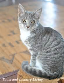 gray tabby cat our kitten albie grows up town country living