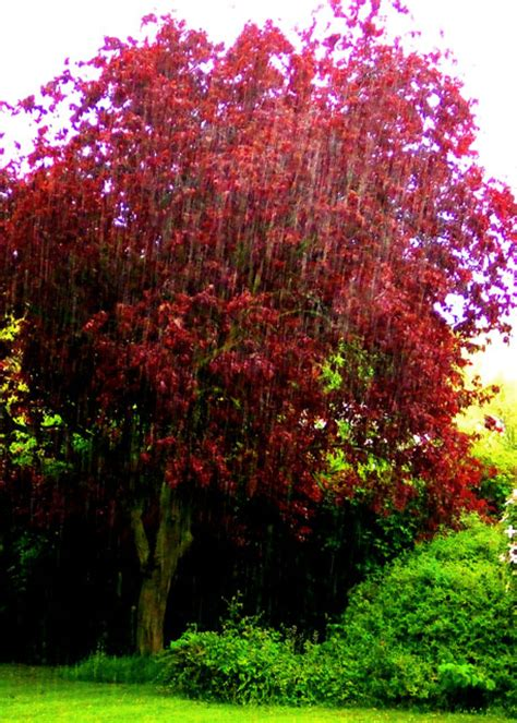 purple leaf plum trees three horseshoes purple leaf plum tree 169 dylan mills cc by sa 2 0 geograph britain and ireland