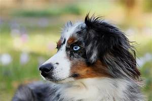 best food for australian shepherds top food for your