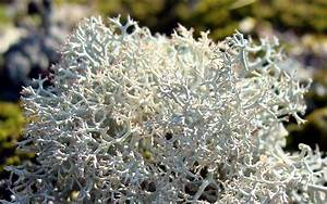 Reindeer moss, growing on Riggins Bridge guardrail support ...