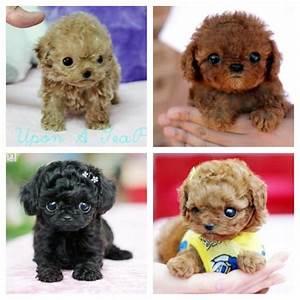Teacup poodles