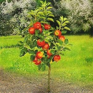 Saulenobst baumschule pflanzen grosse pflanzen und baume for Garten planen mit obstbaum im topf balkon
