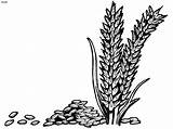 Wheat Rice Clipart Grains Coloring Colouring Plant Pages Drawing Vector Outline Cliparts Grain Corner Clip Printable Library Designs Fall Grass sketch template