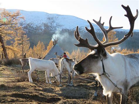 mongolia nomadic tsataan reindeer herders panash adventures