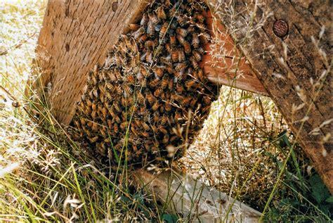 absconding bees  death  varroa honey bee suite