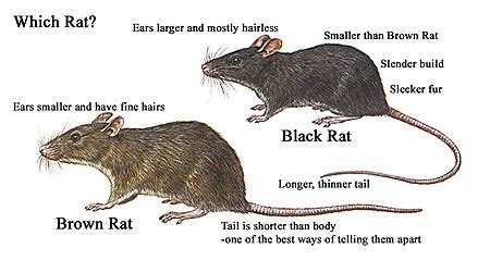 difference between rat and mouse rats and mice