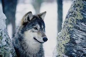 Bébé Loup Blanc : loup arctique en images dinosoria ~ Farleysfitness.com Idées de Décoration