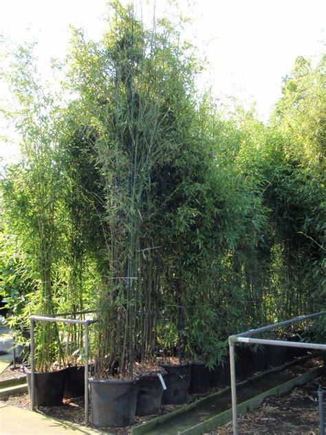 schwarzer als dünger schwarzer bambus bambus phyllostachys bambus