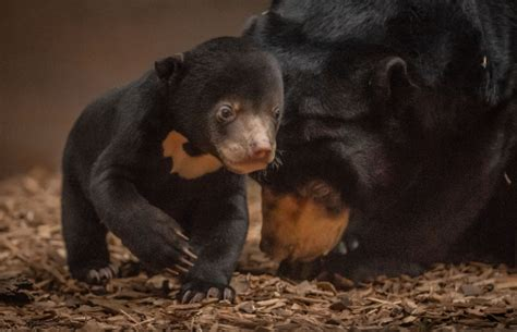 chester zoos top  baby animals   zooborns