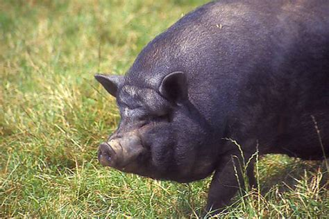 pot belly pigs pot bellied pig pictures free use image 01 14 8 by freefoto com