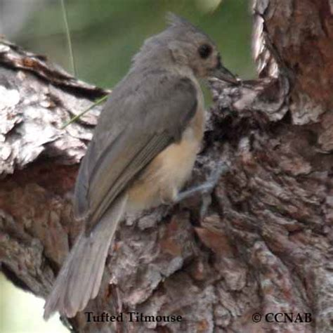 tufted titmouse north american birds birds of north