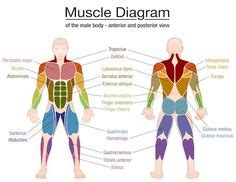 Serratus anterior superior, serratus anterior intermediate. muscular system diagram labeled and unlabeled for kids ...