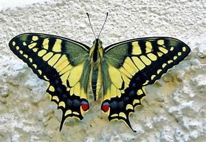 Gelb Schwarze Raupe : insekten gro er gelber schwalbenschwanz schmetterling bilderwelt bei ~ Orissabook.com Haus und Dekorationen