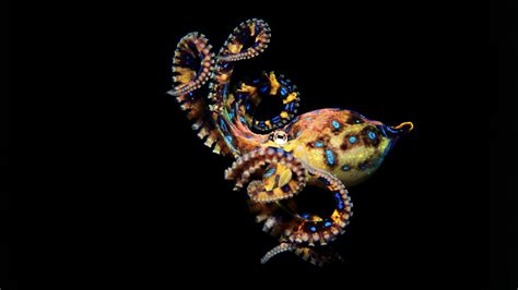 octopus wallpapers images  pictures backgrounds