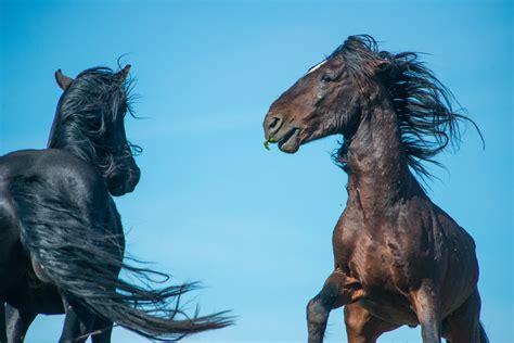 stallions fighting