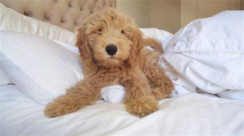 10 Things You Need to Understand If You Own A Goldendoodle ...