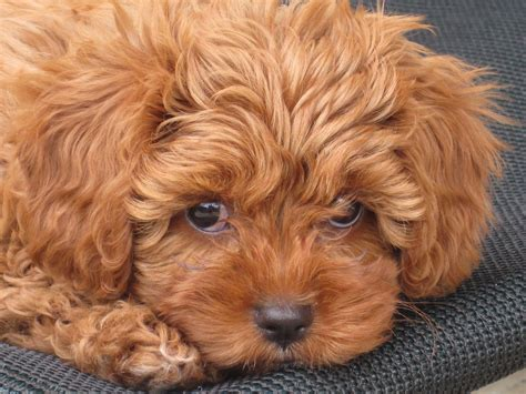 red toy cavoodle pocket puppies    homes