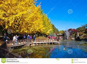 Nami Island autumn scenery editorial stock photo. Image of ...