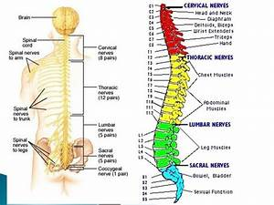 Neurons  The Spinal Cord And Spinal Nerves Flashcards