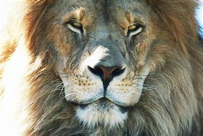 Lion Safari African Canada Ontario Wild Adventure
