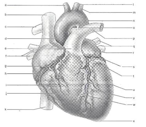 print exercise  anatomy   heart flashcards easy