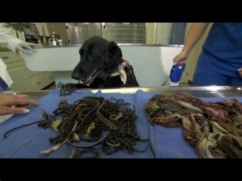 dog survives  eating  hair ties  pairs