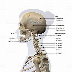Female Lateral View Of Skull And Neck Vertebrae Bones Labeled On White Stock Photo
