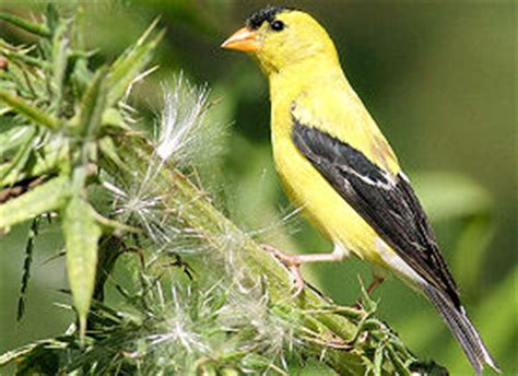 washington state bird facts information about the washington state bird theusaonline