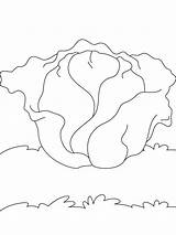 Cabbage Coloring Vegetables Recommended sketch template