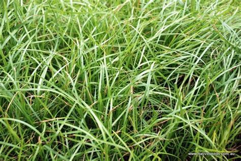 7 Best Weeping Grass (microlaena Stipoides) Images On