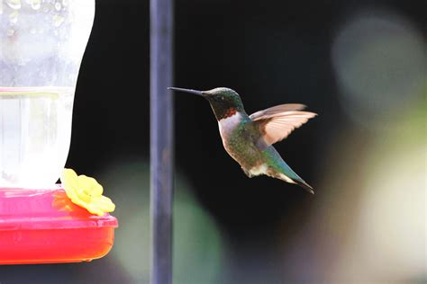 how to avoid a dead hummingbird in your garden i love