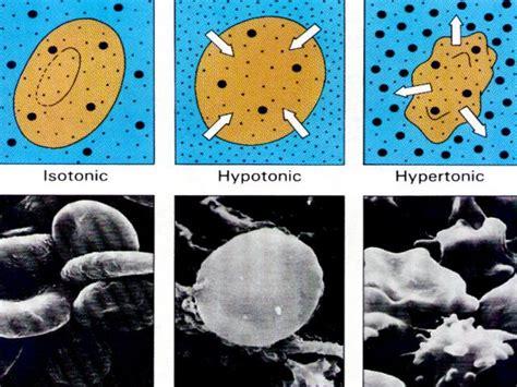 animal cell osmosis