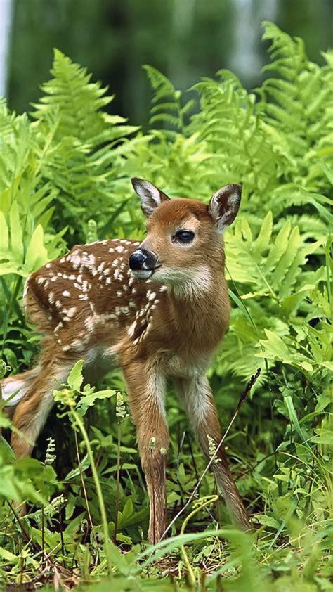 Wallpaper Download 1080x1920 A Sweet Baby Deer In The