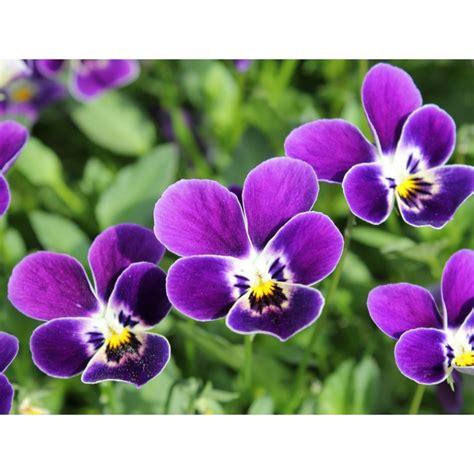 fiore viola pianta di viola a fiore piccolo le stelle castor societ 224