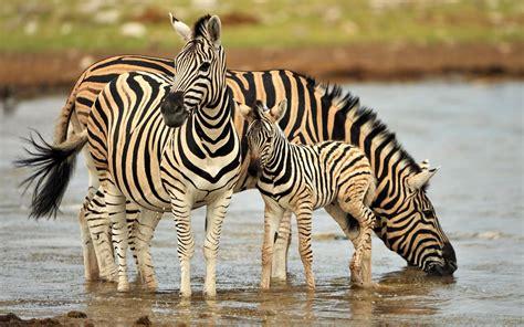 Zebra Family Drinking Water Wallpaper Hd