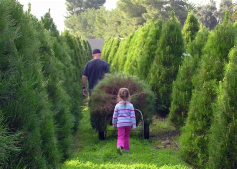 holiday tree farm cut your own tree farms in san diego