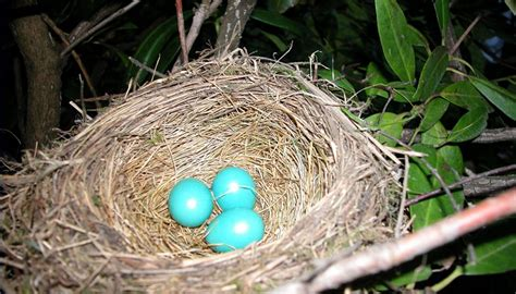 how long does it take for robin eggs to hatch sciencing