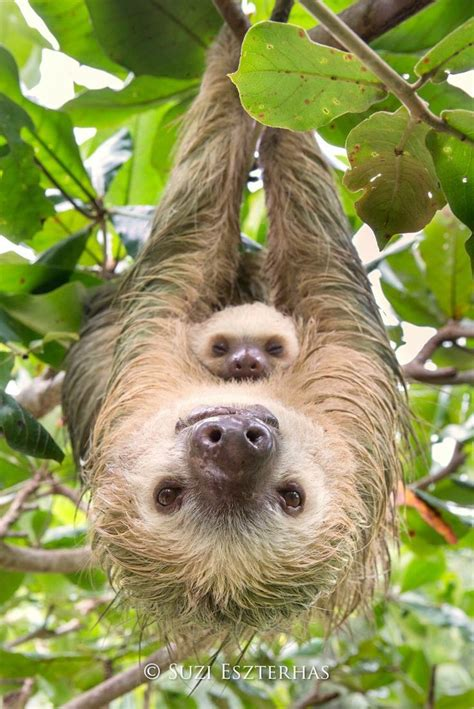 Sloth Images 25 Best Ideas About Baby Sloth On Sloths