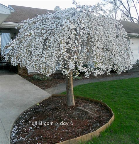 weeping cheery tree snow fountains flowering weeping cherry