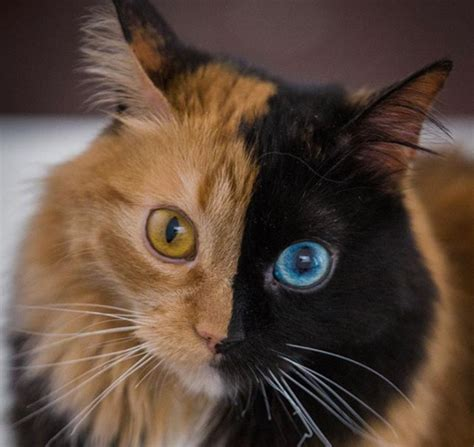 how are cats quimera the cat has two completely different sides to her face metro news