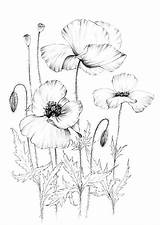 Poppy Coloring Wild Sketch Drawing Drawings Botanical Clipart Sketches Flowers Floral A1 Dessin Poppies Poster Wildflower Coquelicot Blumen Fleurs Malen sketch template