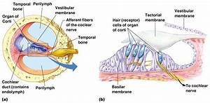2 A Detailed Image Of The Cochlea  A   The Organ Of Corti And The Hair
