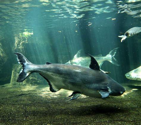 fish pangasius aquarium giant whiskers catfish