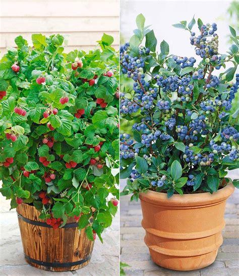 heidelbeeren pflanzen balkon topf heidelbeere blue parfait 174 topf himbeere ruby 174 chaletchic